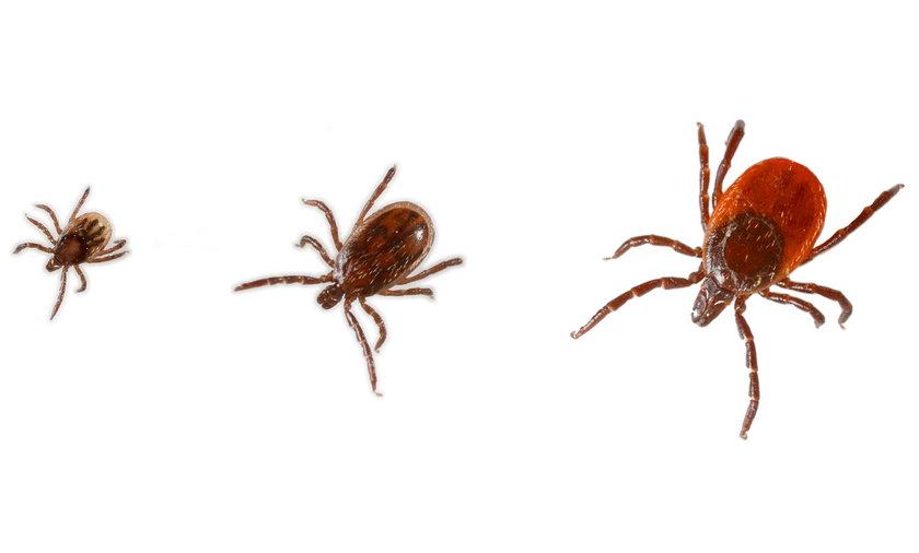 Kleszcz, nawet gdy ma postać ledwo widocznej 1,5-milimetrowej nimfy, może wprowadzić do naszego organizmu chorobotwórcze wirusy lub bakterie
