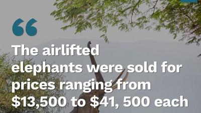 Broke Zimbabwe Sells Elephants to China & Dubai