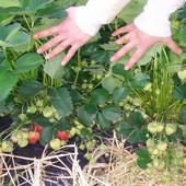 Uložiš ŠEST, a zaradiš DESET HILJADA EVRA već prve godine: Uzgoj ovog voća isplativ je i na samo jednom hektaru