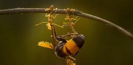 Te mrówki to siłaczki! ZDJĘCIA