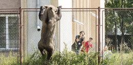 Niedźwiedź sterroryzował miasteczko. Wdrapał się na ogrodzenie szkoły!