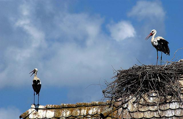 Rode svoja gnezda imaju na svakom krovu: Čigoč