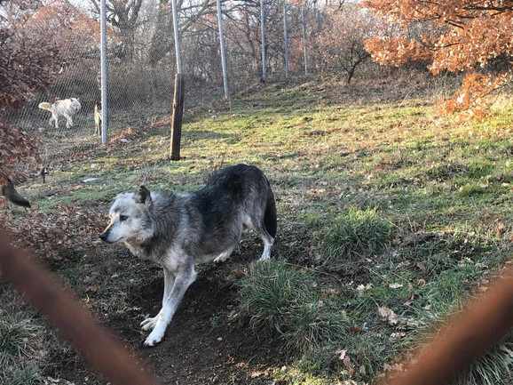 Srpski vukovi sada su u prihvatilištu u Grčkoj