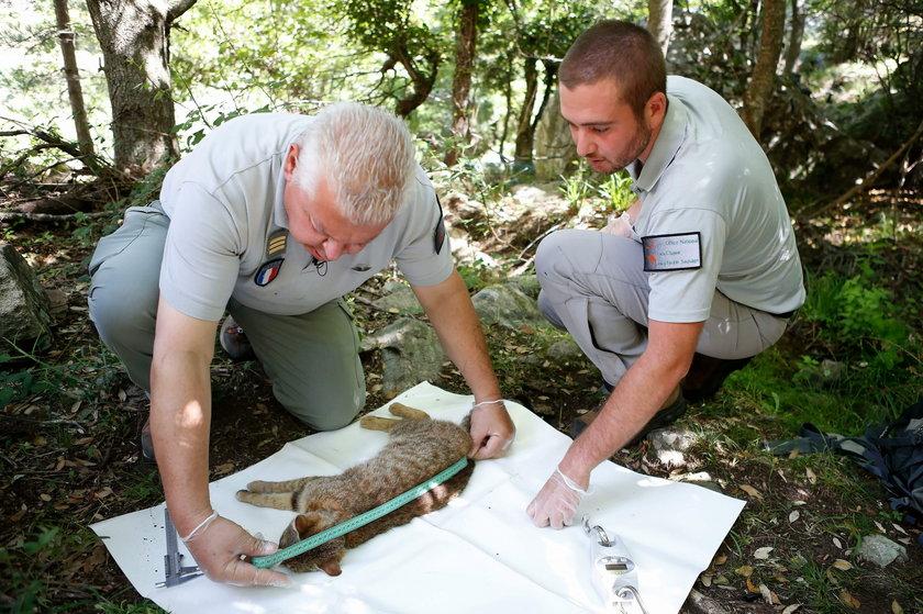 Korsyka: Tak wygląda koto-lis. Naukowcy uznali go za nowy gatunek