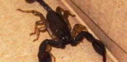 Szok! Znalazł w domu skorpiona! FOTO