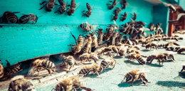 Trująca substancja w ulach. Zginęło 1,5 mln pszczół