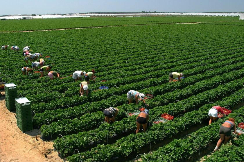 Choroba zbieraczy truskawek