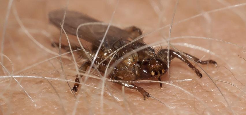 Uwaga na strzyżaki! Latające owady są groźne jak kleszcze