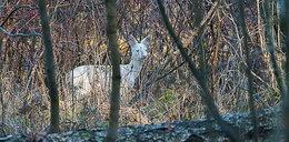 Niezwykłe zwierzę w mazurskich lasach. Taki widok nie zdarza się często