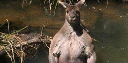 Kangur-kulturysta przyłapany podczas kąpieli