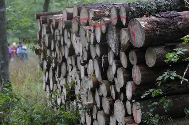 Drzewo wycięte w Puszczy Białowieskiej, przygotowane do wywózki.