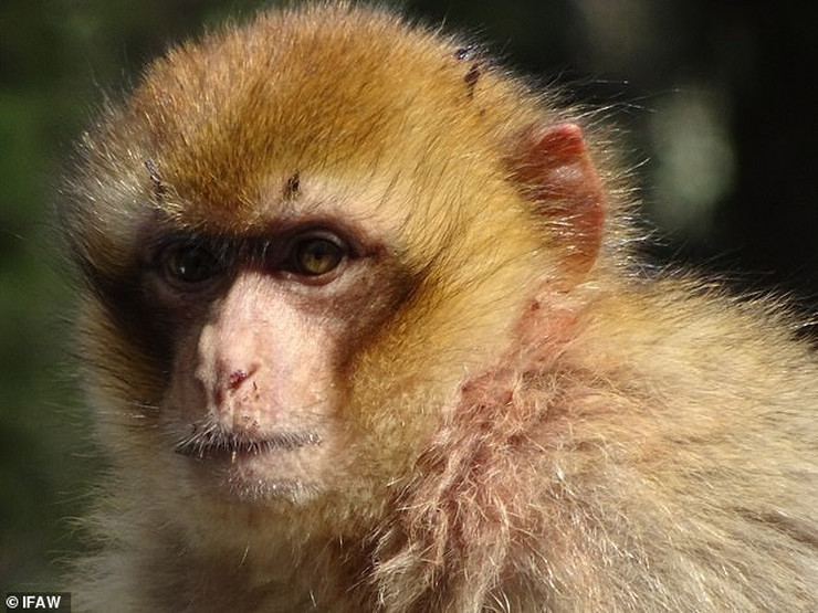 majmuni 1