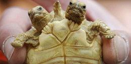 Ten żółw ma dwie głowy! FOTO