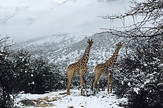 žirafe u snegu afrika sneg