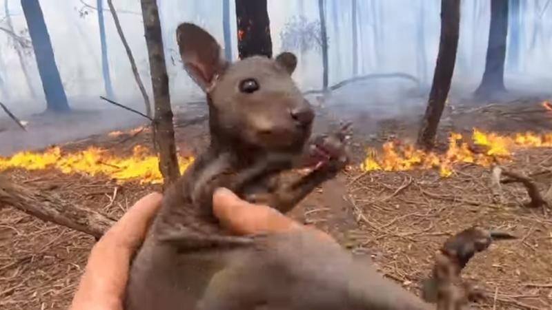 A megmentett kenguru bébi / Fotó: Youtube