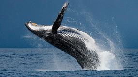 USA zniosły ochronę jednego z największych gatunków wielorybów