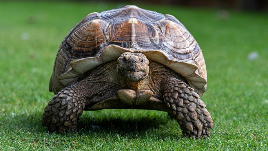 Żółw pustynny (zdjęcie ilustracyjne)