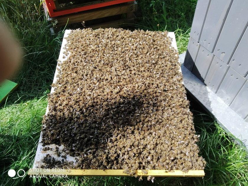 Ktoś otruł Kukizowi pszczelą rodzinę