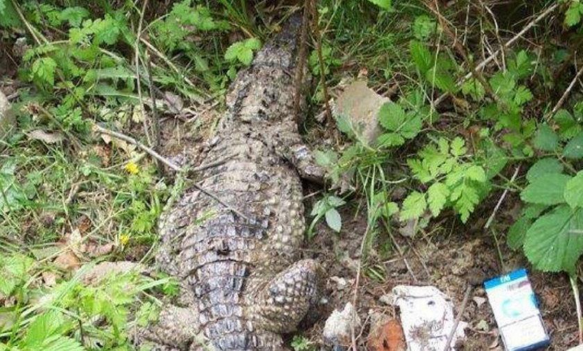 Leśnicy opublikowali zdjęcie krokodyla znalezionego pod Gdańskiem w 2013 roku