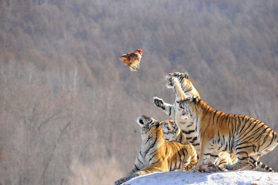 Siberian tigers act to catch prey at a Siberian tigers breeding base in Mudanjiang