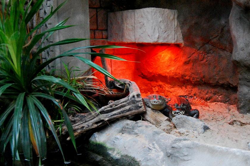 Łowcy krokodyli nakarmią kajmany w poznańskim Zoo