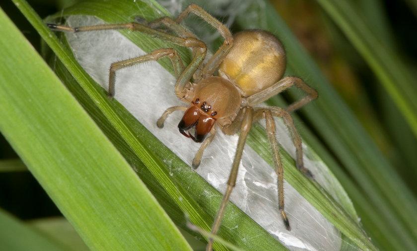 Groźny pająk kolczak zbrojny przywędrował do Polski. Jak rozpoznać pająka