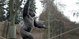 Oto goryl akrobata!