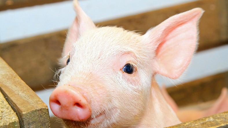 Sto świń karą dla byłego trenera rugbistów Samoa