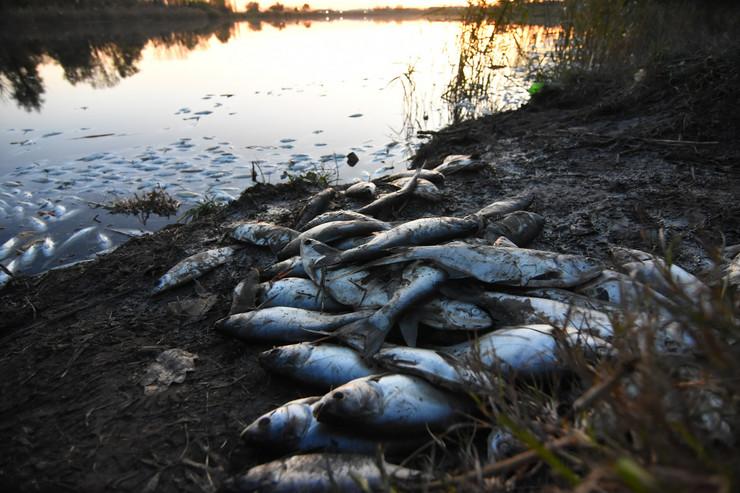 Bečej pomor ribe