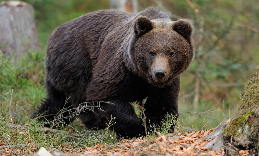 Tatry Niżne. 57-latek zginął po ataku niedźwiedzia w Liptowskiej Łużnej