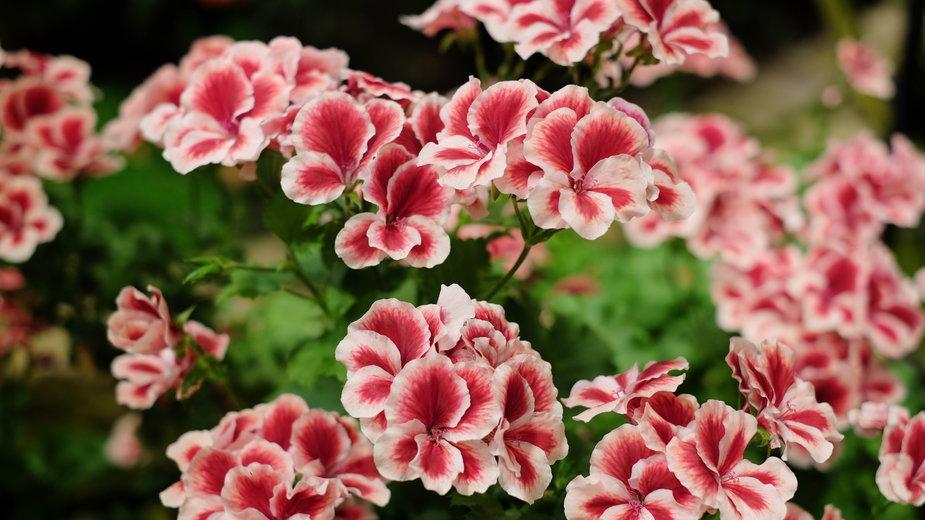 Pelargonia angielska - preeyaporn/stock.adobe.com