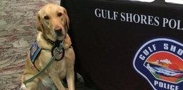 Policyjny pies zdechł w nagrzanym radiowozie