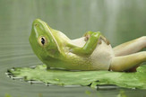 žaba uživancija