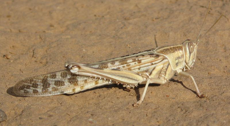 Why the desert locust invasion ravaging Kenya is a blessing in disguise - University Dons