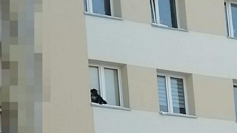 Mężczyzna wystawił psa na parapet na dziewiątym piętrze
