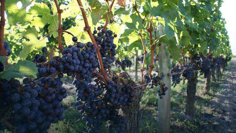Winorośla w Bordeaux we Francji