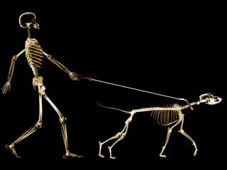X-ray of dog on leash pulling master
