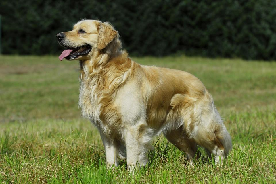 2. Golden retriever