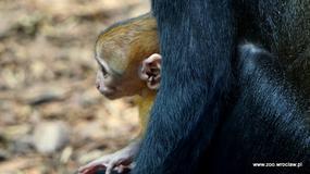 We wrocławskim zoo pojawił się nowy mieszkaniec - przedstawiciel gatunku zagrożonego wyginięciem