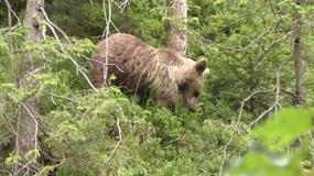 Turyści spotkali niedźwiedzia w Dolinie Białego