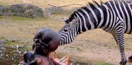 Zebra jak dentysta