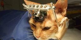 Przerażające eksperymenty na kotach. Były rażone prądem...