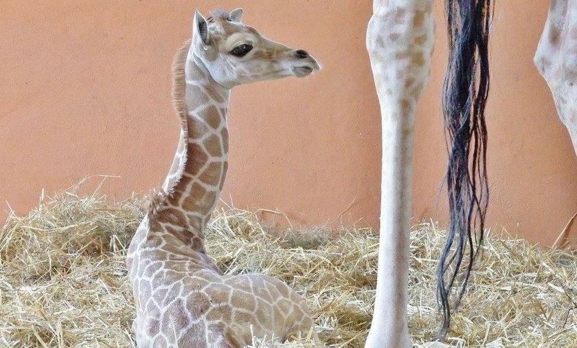 Chorzów. Narodziny żyrafki
