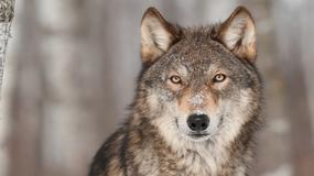 Wilki w Polsce [INFOGRAFIKA]