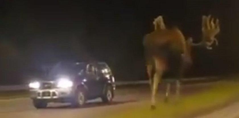 Łoś-gigant na środku drogi. Kierowcy przecierali oczy ze zdumienia