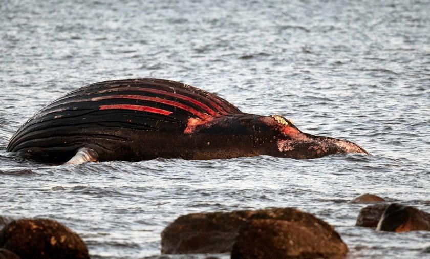 Martwy wieloryb na plaży. Władze ostrzegają przed śmiertelnym niebezpieczeństwem