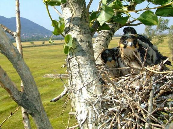 Mladunci sokola lastavičara u Malom vršačkom ritu