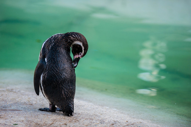 Humboltov pingvin