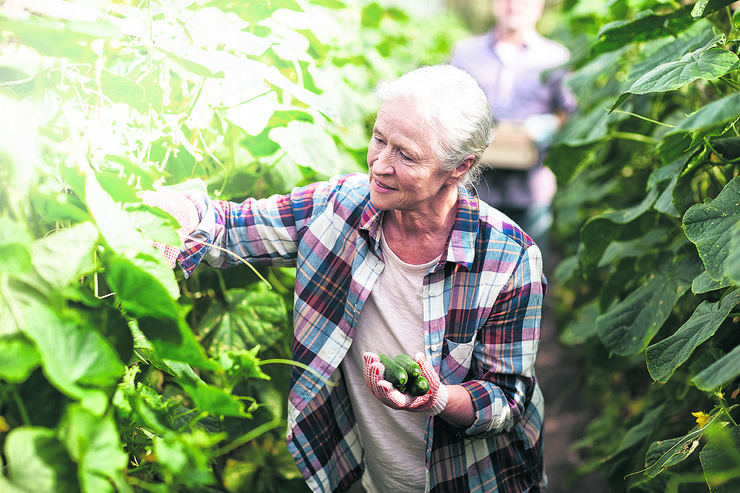 stock-photo-farming-gardening-old-age-and-people-concept-senior-woman-harvesting-crop-of-cucumbers-at-564103369