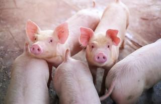 Nowe obowiązki dla skupujących krowy i świnie